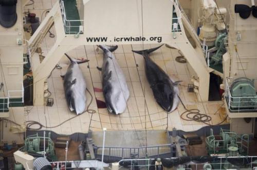 Fotografía de archivode Sea Shepherd que muestra a un pesquero japonés de ballenas tras cazar 3 ejemplares. Efe